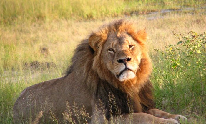 Cecil the lion at Hwange National Park in 2010. (Creative Commons)