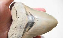 North Carolina Girl Finds Megalodon Shark Tooth at Beach, Likely Millions of Years Old