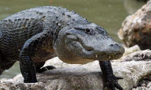 South Carolina Woman Walking Her Dog Killed by Alligator