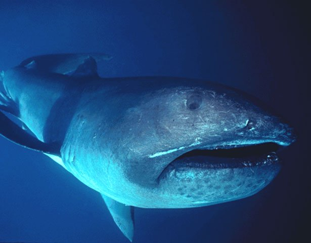 Rare Megamouth Shark Caught on Video Near Indonesia Island