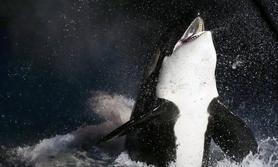 Orca Carries Dead Calf for Weeks Before Letting Go