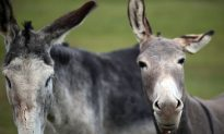 Smugglers Try to Use Donkeys to Drag Mercedes-Benz Across Border