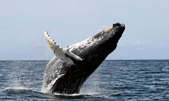 Whale Throws Boat Into Air, 2 People Unconscious, 2 With Broken Ribs