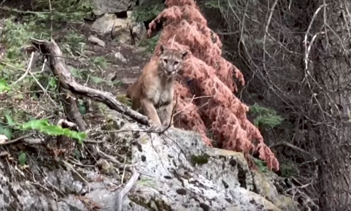 A cougar stares down at Sam Vonderheide and Brian McKinney during their recent hike in the mountains of California (Brian McKinney/YouTube)