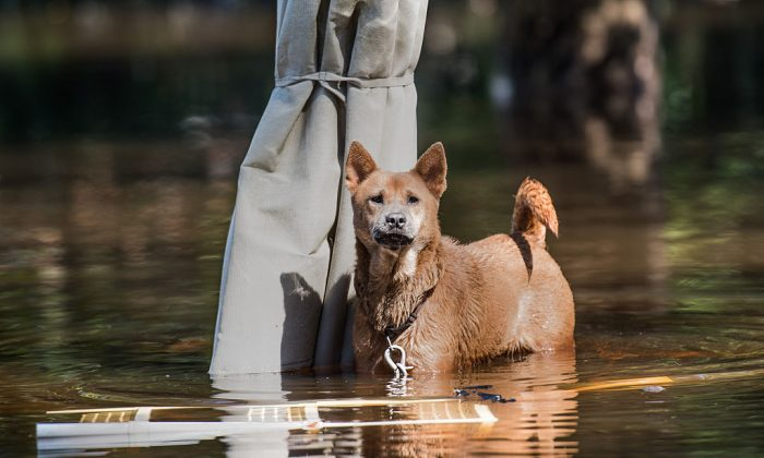 A dog stands on top of a patio table in floodwaters left from Hurricane Matthew and the swollen Lumber River on October 12, 2016 in Lumberton, North Carolina. (Sean Rayford/Getty Images)