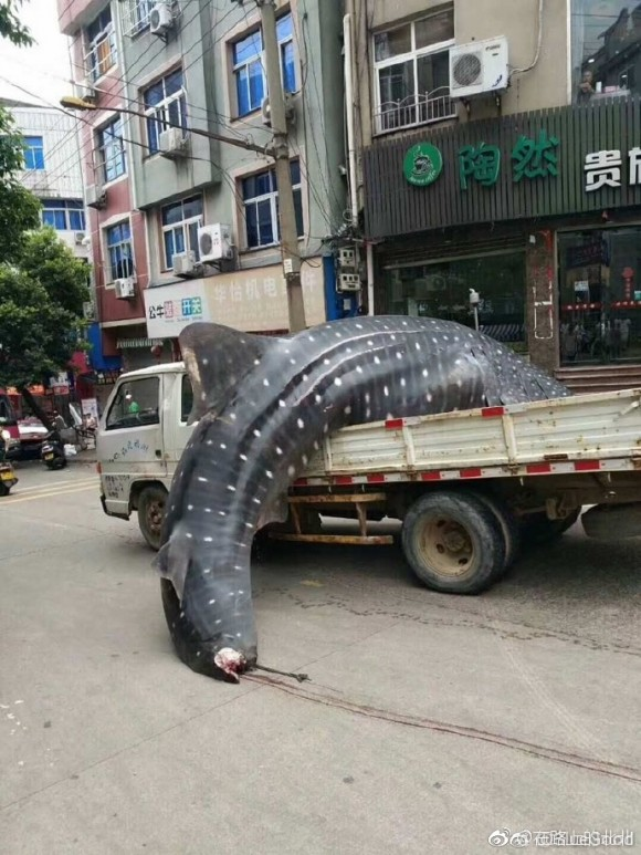 Fishermen haul a whale shark through the streets of Fujian's Xiapu county in China on September 4, 2017. (Social Media)