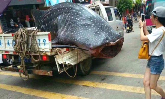 Fishermen Drive Whale Shark Through City, Chop It Up in Public