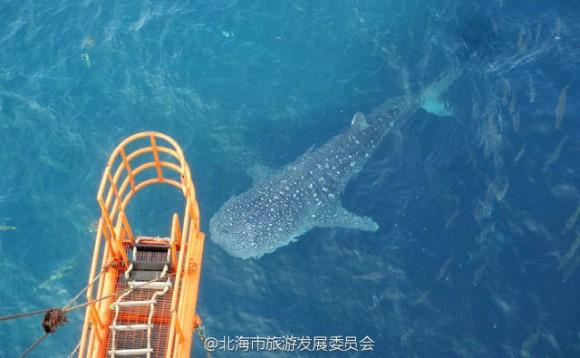whale_shark_killed