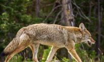Coyote Hit by Car Survives 30-Minute Drive Stuck in Front Grill
