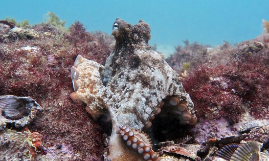 Octopuses Built an Underwater 'City' Named Octlantis