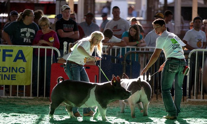 Pigs during the Iowa State Fair on Aug. 13, 2015, in Des Moines, Iowa. (Justin Sullivan/Getty Images)