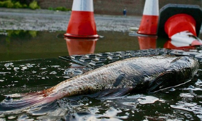 A fish stranded after torrential rain and flooding.  (Christopher Furlong/Getty Images)