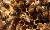 Chemical Toxic to Bees Found in 75 Percent of World's Honey