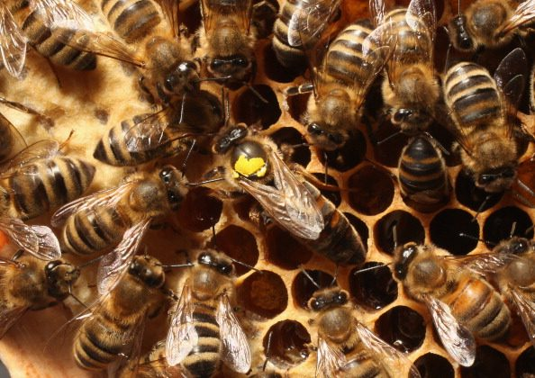 Worker bees surround a queen, who is marked with a yellow spot on her back.   (Photo by Sean Gallup/Getty Images)