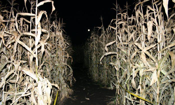 Corn maze. (Mack Male/CC BY-SA 2.0)