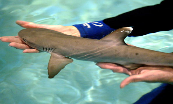Aquatic biologist Pam Schaller holds a four-day-old white-tipped shark.  (Photo by Justin Sullivan/Getty Images)