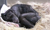 59-year-old chimpanzee is dying but her eyes light up when she gets a visit from a special friend