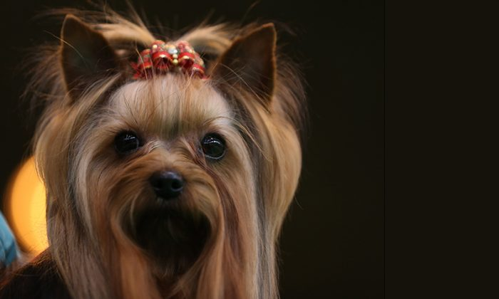 This Yorkshire Terrier prepares to be judged during the Crufts dog show at the NEC on March 8, 2014 in Birmingham, England. (Matt Cardy/Getty Images)