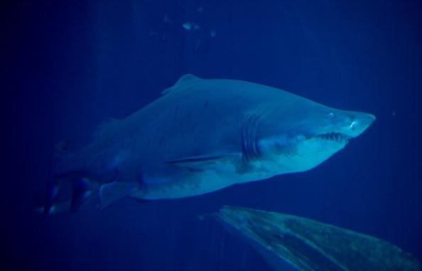 A sand tiger shark. (Stefan Sauer/AFP/Getty Images)