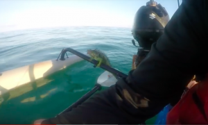 Captured on Video: Man Rescues Iguana Swimming in Ocean Miles from Shore