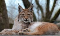 Wild Lynx on the Loose After Escaping From Animal Park in Wales