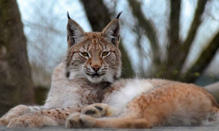 Lilleth the wild cat is missing from an animal park in Wales. (Borth Wild Animal Kingdom)