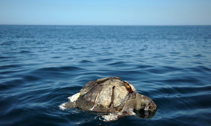 A dead Olive Ridley Sea Turtle (Lepidochelys olivacae) floats near Los Cobanos beach, 84 Km west from San Salvador, on Feb. 4, 2012. (Jose CABEZAS/AFP/Getty Images)