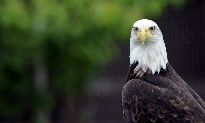 A bald eagle stock photo (Jean-Christophe Verhaegen/AFP/GettyImages)