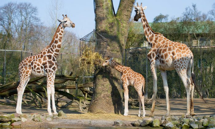 Baby giraffe Tamu (C) explores his outdoor enclosure at the Tierpark Hagenbeck zoo in Hamburg, northern Germany, on April 16, 2013. (Sven Hoppe/AFP/Getty Images)