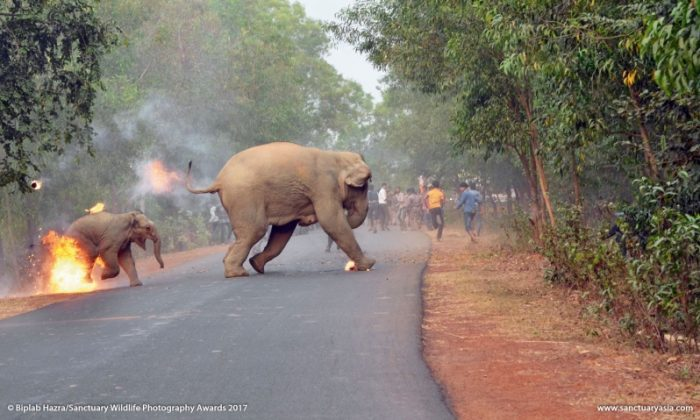 A photograph taken in West Bengal, India, showing elephants being attacked by residents, that received the first place award in a photography competition put on by Indian magazine Sanctuary Asia. (Sanctuary Asia)