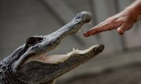 Caught on Video: 'Monster' Alligator Battles Officers in Florida Garage