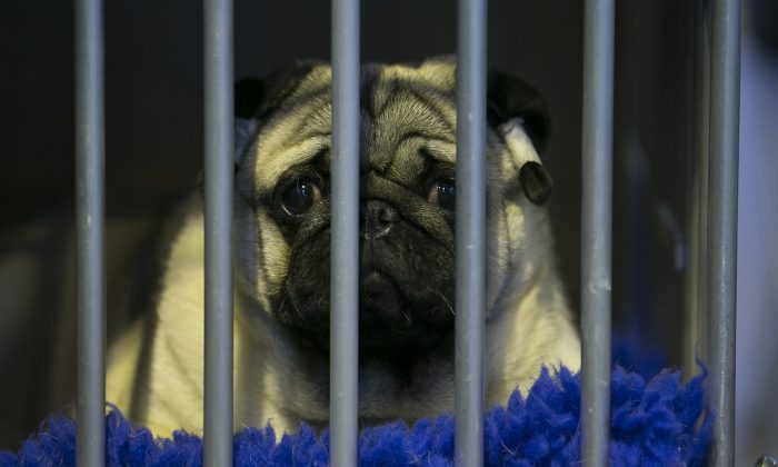 A pug dog looks out of his cage on the Toy and Utility day of the Crufts dog show at the NEC on March 8, 2014 in Birmingham, England. (Matt Cardy/Getty Images)