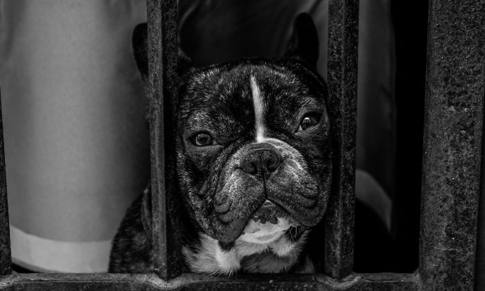 Puppies like this (not one of those seized in the raid) can fetch high prices and are being bred illegally. Nearly 90 dogs were seized during a raid in Scotland on November 14, 2017. (Ghost Presenter/Unsplash)