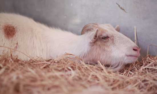 Neglected goat is rescued, but refuses to eat for days—see the heartbreaking reason why.