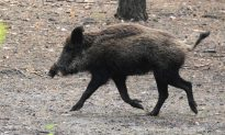 New Zealand Family in the Hospital After Eating Wild Boar Meat