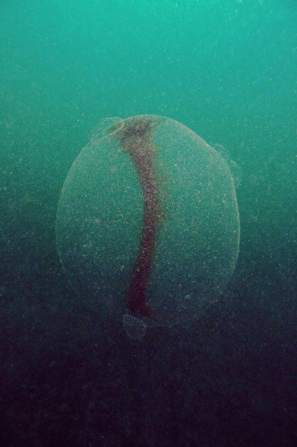 A gel ball found by diver Rudolf Svensen in Norway. (Rudolf Svensen)