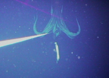 A giant squid. (Dr. Tsunemi Kubodera/National Science Museum, Tokyo)