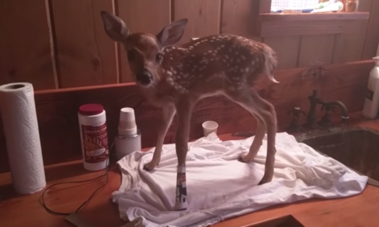 Abandoned by her mother, injured fawn is left alone—until man steps in to nurse her back to health