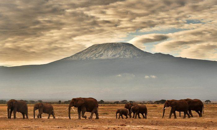 A herd of elephants walk in front of Mount Kilimanjaro in Amboseli National Park, Kenya, on November 3, 2016. (CARL DE SOUZA/AFP/Getty Images)