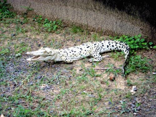 White Crocodile at Bhitarkanika National Park.  (Deepam4u via Wikimedia Commons)