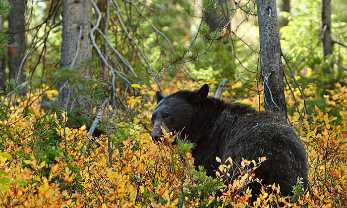 Female black bears can reach 300 pounds  while an male can weigh up to 500 pounds. (commons.wikimedia.org)