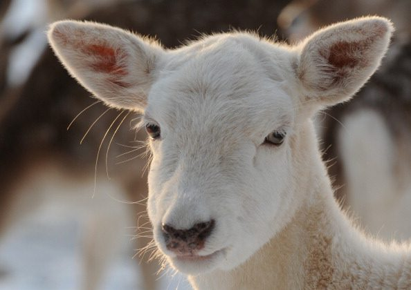 Rare albino deer accidentally shot by hunter