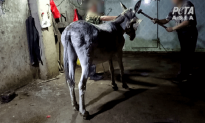 Death by Sledge Hammer Highlights Wrongs of China's Donkey Skin Trade