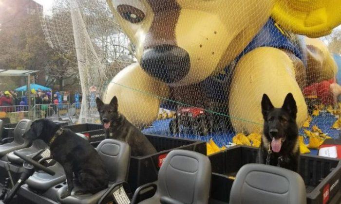 Vapor Wake retrievers Vito, Tori, & Blue seen ahead of the Macy's Thanksgiving Day Parade on Wednesday. (NYPD)