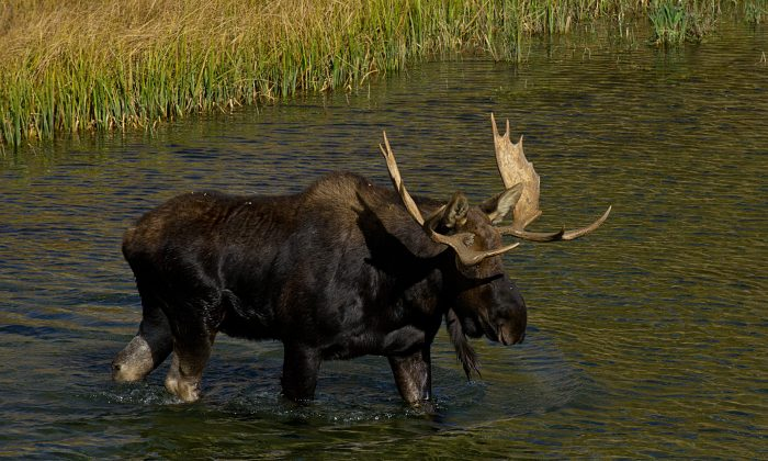 A moose saunters across the Snake River October 4, 2012 in the Grand Teton National Park in Wyoming.  (KAREN BLEIER/AFP/GettyImages)
