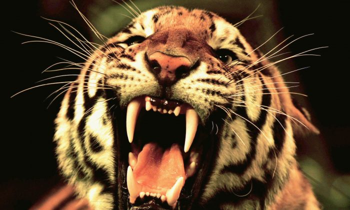 A tiger in circus roars during a rehearsal. (Photo by China Photos/Getty Images)