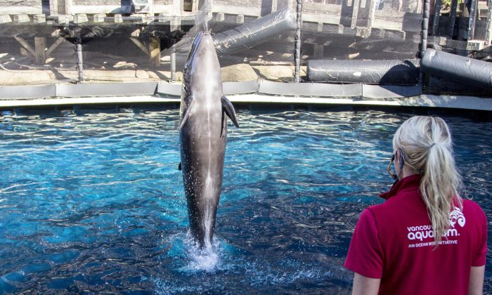 Chester, a false killer whale  who lived in captivity at the Vancouver Aquarium, died on Nov. 24, 2017. (Shutterstock/Alex JW Robinson)
