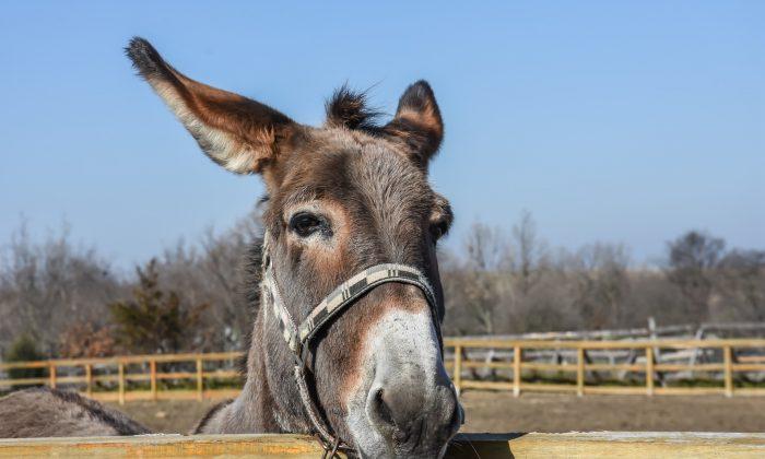UP Police arrest donkeys for destroying jail property