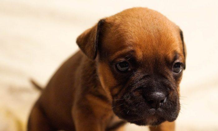 A puppy. (Pixabay)