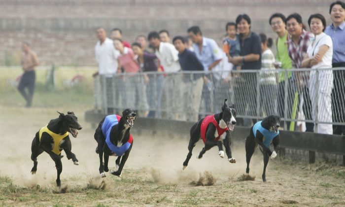 Greyhounds make their way around the track during a race at Songzhuang Village of Tongzhou District on Sept. 16, 2006 in Beijing, China. (China Photos/Getty Images)